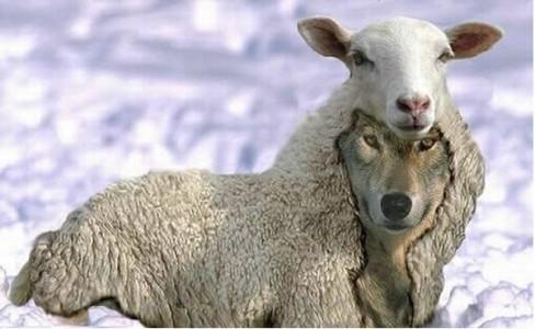 Mouton dangereux !