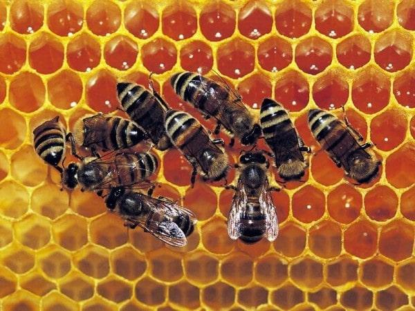 Illustration de la Fable des Abeilles par des Abeilles dans une ruche.